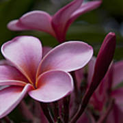 Eia Ku'u Lei Aloha Kula - Pua Melia - Pink Tropical Plumeria Maui Hawaii Poster