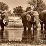 Elephant Bulls At Khwai River Poster