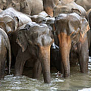 Elephant Herd In River Poster