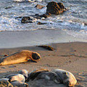 Elephant Seals At Piedras Blancas Poster