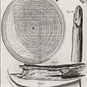 Elephant Tooth Anatomy, 18th Century Poster