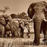 Elephants At Khwai River Poster