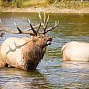 Elk Bugle Estes Lake Colorado Poster