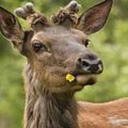 Elk Cervus Canadensis With Dandelion In Poster