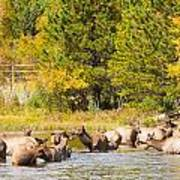 Elk Herd With Autumn Colors Poster