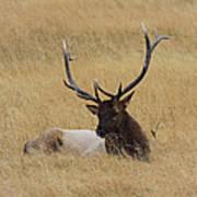 Elk In The Meadow Poster