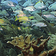 Elkhorn Coral With Schooling Grunts Poster