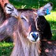 Ellipsis Waterbuck Poster