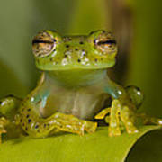 Emerald Glass Frog Centrolene Poster