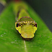 Emerald Swallowtail Caterpillar Poster