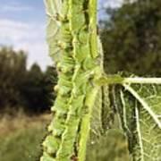 Emperor Moth Caterpillar Poster