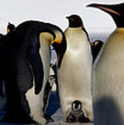 Emperor Penguins Sheltering Chicks Poster