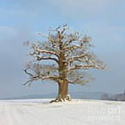 English Oak Poster