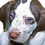 English Pointer Puppy Poster