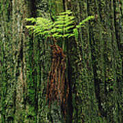 Epiphytic Fern Growing On Redwood Poster