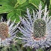 Eryngium Alpinum Flowers Poster