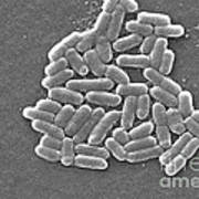 Escherichia Coli, Sem Poster by CDC/Science Source
