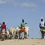 Ethiopia, Hamer Tribe Herding Cattl Poster by Photostock-israel