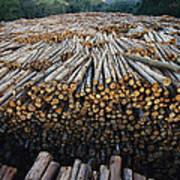 Eucalyptus Stacked Lumber Poster