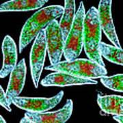 Euglena Rubra Dic Poster by M I Walker