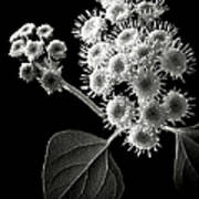 Eupatorium In Black And White Poster
