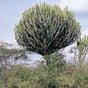 Euphorbia Candelabrum Poster