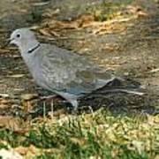 Eurasian Dove Poster