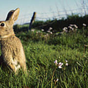 European Rabbit In A Meadow Poster