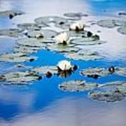 European White Waterlily Poster