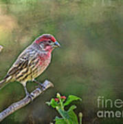 Evening Finch Blank Greeting Card Poster