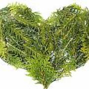 Evergreen  Coniferous Christmas Trees Heart Isolated Poster