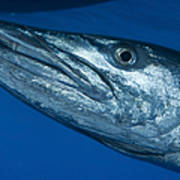 Facial View Of A Great Barracuda, Kimbe Poster