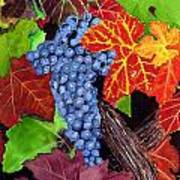 Fall Cabernet Sauvignon Grapes Poster by Mike Robles