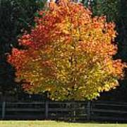 Fall Colored Tree Poster