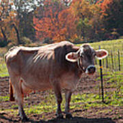 Fall Cow Poster