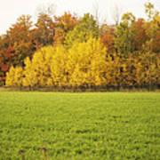 Fall Poplars Poster