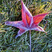 Fallen Autumn Leaf In The Grass During Morning Frost Poster