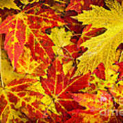 Fallen Autumn Maple Leaves  Poster