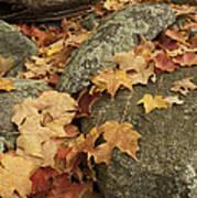 Fallen Autumn Sugar Maple Leaves Poster
