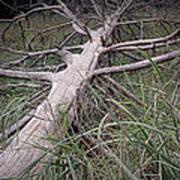 Fallen Pine Tree Poster