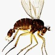 Fan-tail Fly, Light Micrograph Poster