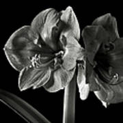 Fancy Amaryllis In Black And White Poster