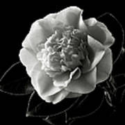 Fancy Camellia In Black And White Poster