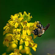 Fanfare For The Common Bumblebee Poster