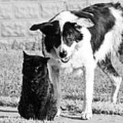 Farm Cat And Border Collie Poster by Thomas R Fletcher