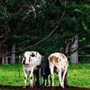 Farm Cattle Poster