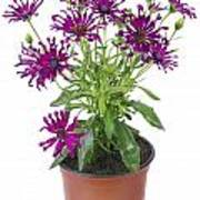 Favourite Violet Indoor Flower Poster