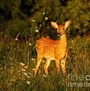 Fawn In Forest At Dusk Poster