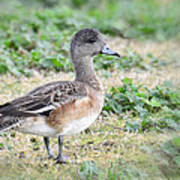 Female American Wigeon  Poster