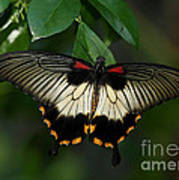 Female Asian Swallowtail Butterfly Poster